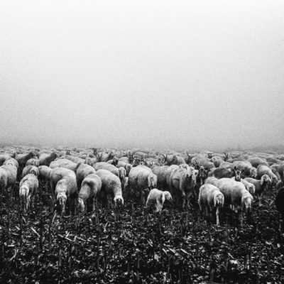 FOG AND SHEEPS